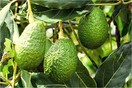 Avocado Bravado